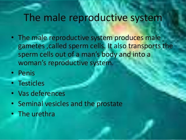 The male reproductive system • The male reproductive system produces male gametes ,called sperm cells. It also transports ...