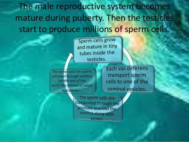 The male reproductive system becomes mature during puberty. Then the testicles start to produce millions of sperm cells.
