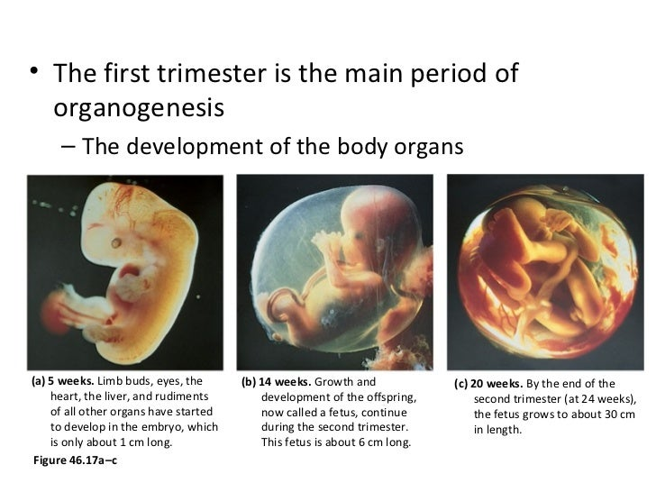 human reproduction and development, Muscles