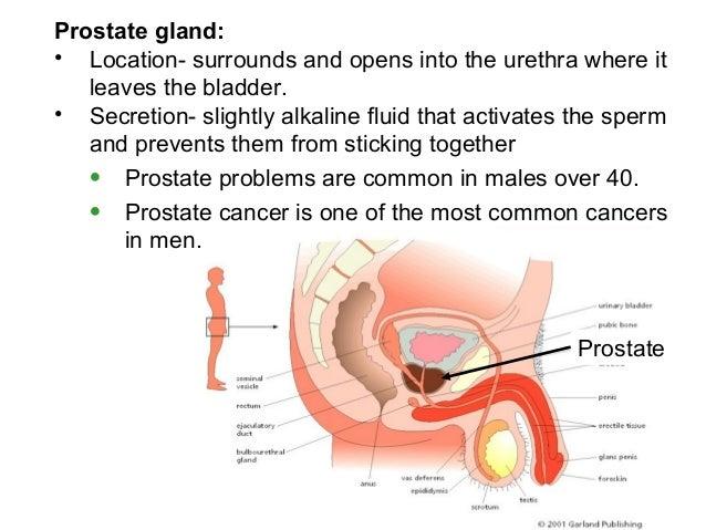 human reproductive system, Human Body