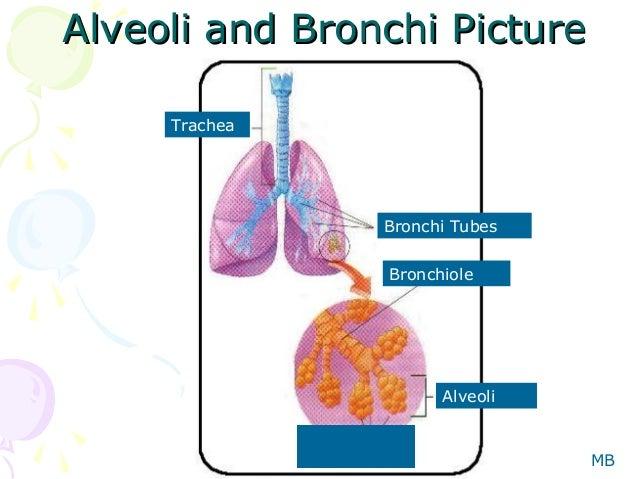 Human respiration mb 11 alveoli and bronchi picturealveoli and bronchi picture trachea bronchi tubes ccuart Images