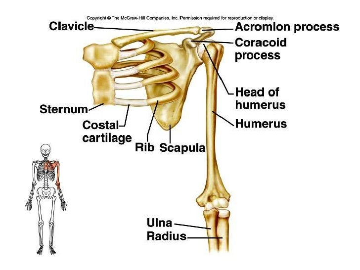 Shoulder Girdle Bone Diagram Blank Schematic Diagrams