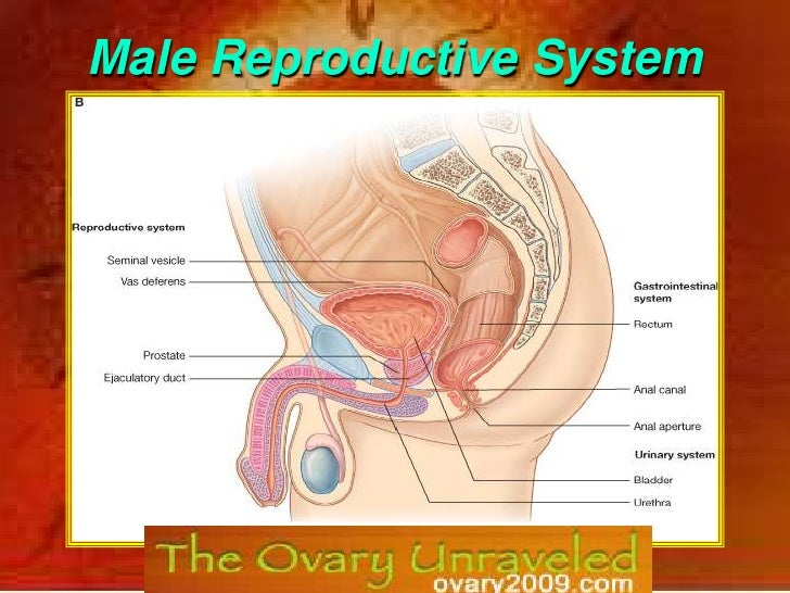 Male Reproductive System<br />0<br />