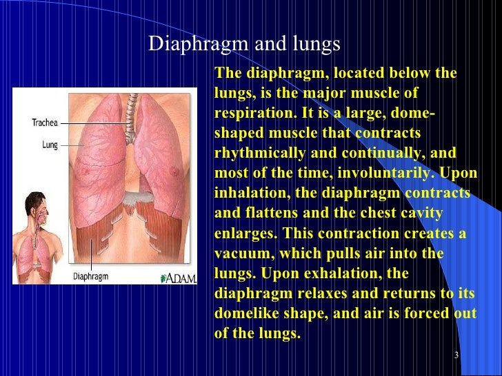 Diaphragm and lungs  The diaphragm, located below the lungs, is the major muscle of respiration. It is a large, dome-shape...
