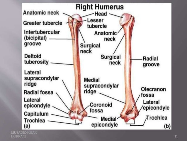 humerus bone and attachments, Human Body