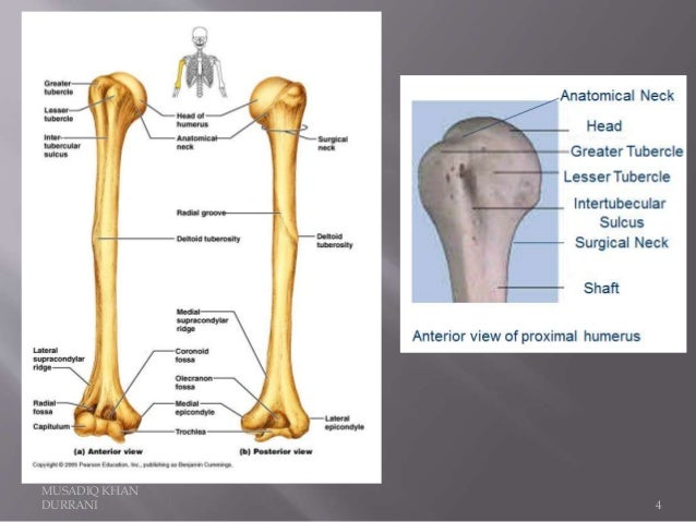 Humerus Bone and attachments