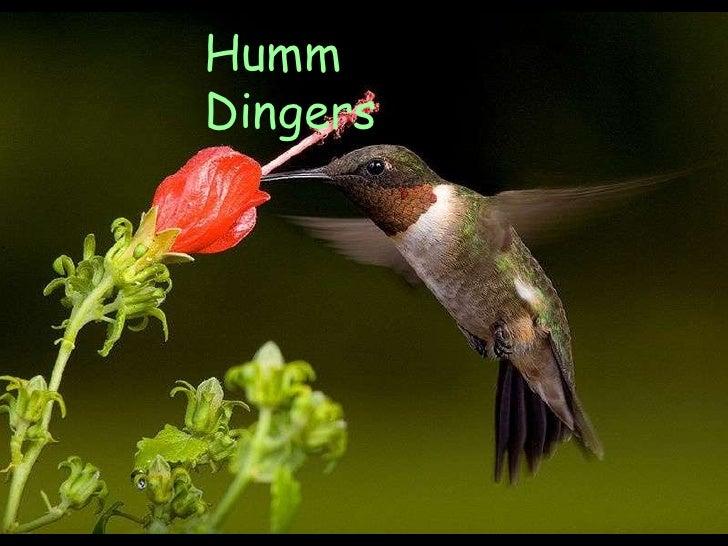 Humm Dingers