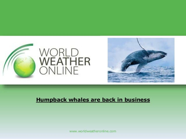 www.worldweatheronline.com Humpback whales are back in business