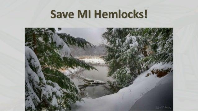 Save MI Hemlocks!