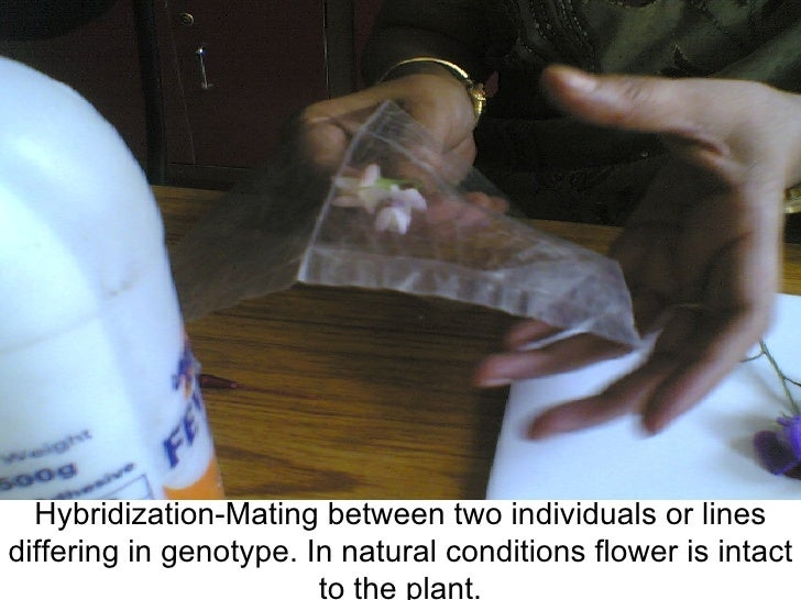 Hybridization-Mating between two individuals or lines differing in genotype. In natural conditions flower is intact to the...