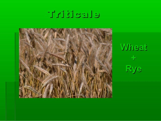 TriticaleTriticale WheatWheat ++ RyeRye