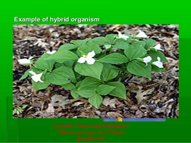 "Example of hybrid organismExample of hybrid organism An ornamental lily hybrid known as Lilium 'Citronella' A ""Zonkey"", a ..."
