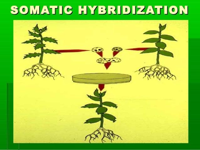 SOMATIC HYBRIDIZATIONSOMATIC HYBRIDIZATION