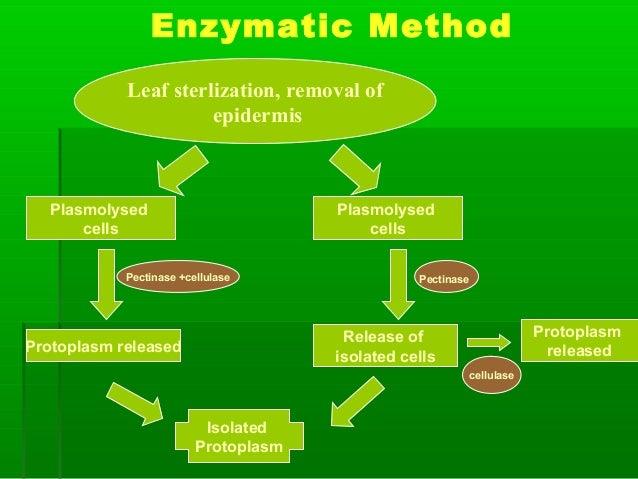 Enzymatic Method Leaf sterlization, removal of epidermis Plasmolysed cells Plasmolysed cells Pectinase +cellulase Pectinas...