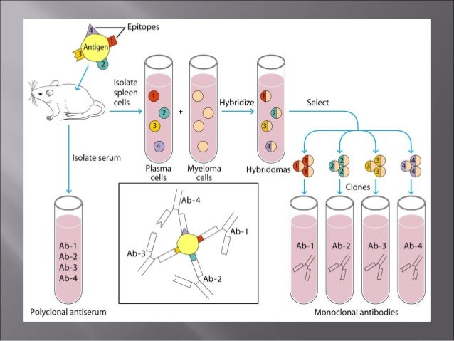 Hybridoma technology and application for monoclonal antibodies