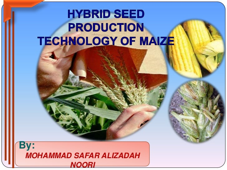 HYBRID SEED PRODUCTION TECHNOLOGY OF MAIZE<br />By:<br />MOHAMMAD SAFAR ALIZADAH NOORI<br />
