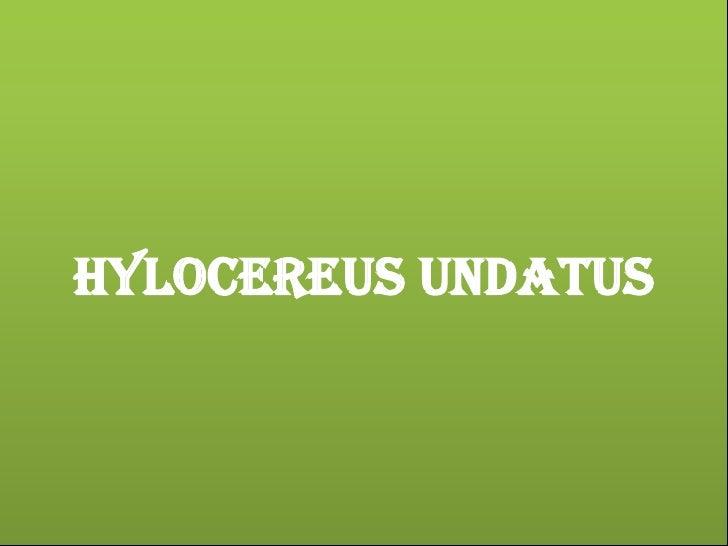 HYLOCEREUS UNDATUS<br />