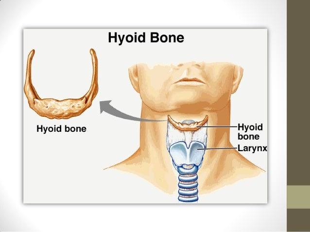 Anatomy of hyoid bone