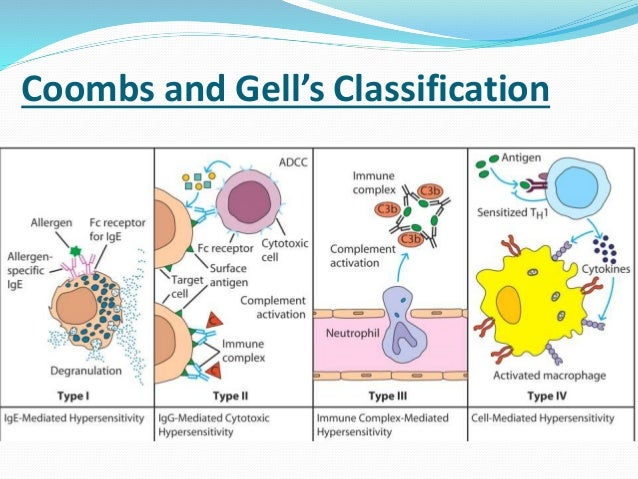 immune system and antigen immediate hypersensitivity Hypersensitivity (also called hypersensitivity reaction or intolerance) refers to undesirable reactions produced by the normal immune system, including allergies and autoimmunity.