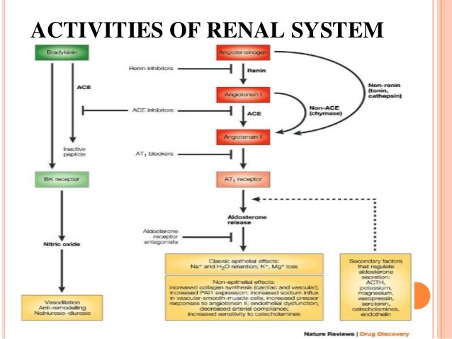 ACTIVITIES OF RENAL SYSTEM