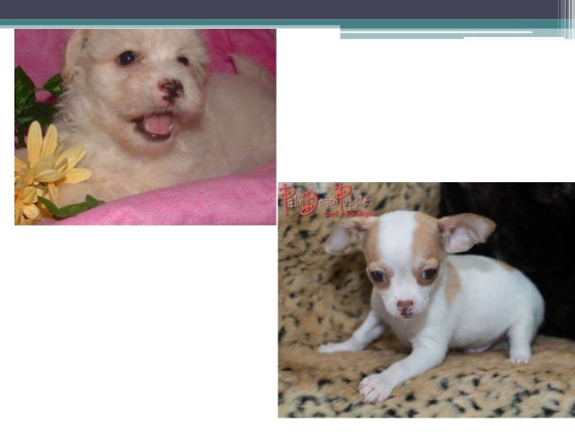 Hypoallergenic Puppies For Sale West Palm Beach Source To Get Puppi