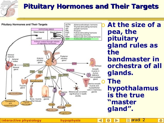 Hypophysis (Pituitary Gland)