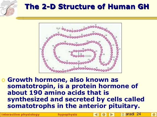 Taradi 24interactive physiology hypophysis The 2-D Structure of Human GHThe 2-D Structure of Human GH o Growth hormone, al...