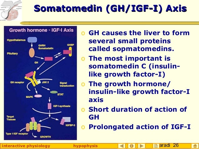 Taradi 26interactive physiology hypophysis Somatomedin (GH/IGF-I) AxisSomatomedin (GH/IGF-I) Axis o GH causes the liver to...