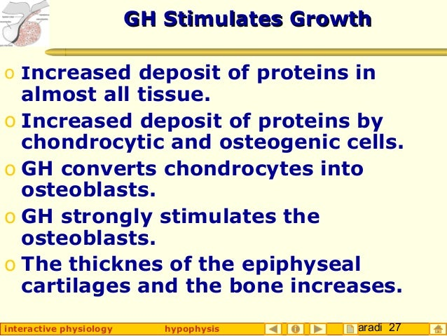 Taradi 27interactive physiology hypophysis GH Stimulates GrowthGH Stimulates Growth o Increased deposit of proteins in alm...