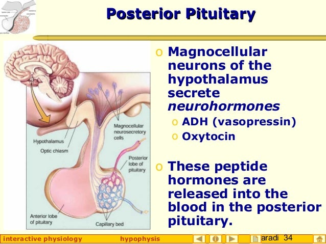 Taradi 34interactive physiology hypophysis Posterior PituitaryPosterior Pituitary o Magnocellular neurons of the hypothala...