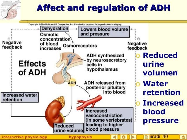 Taradi 40interactive physiology hypophysis Affect and regulation of ADHAffect and regulation of ADH o Reduced urine volume...