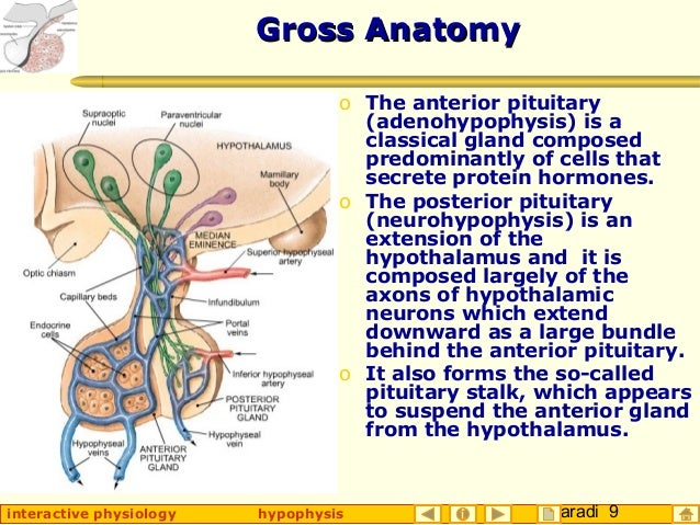 Taradi 9interactive physiology hypophysis Gross AnatomyGross Anatomy o The anterior pituitary (adenohypophysis) is a class...