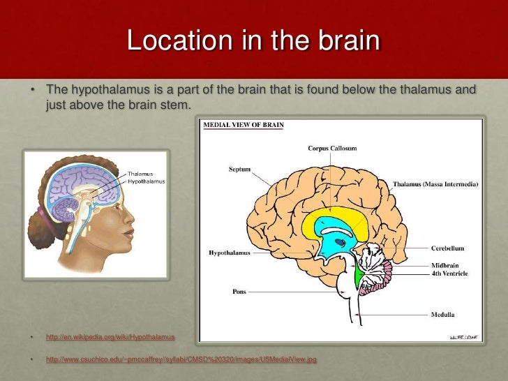 Hypothalamus.