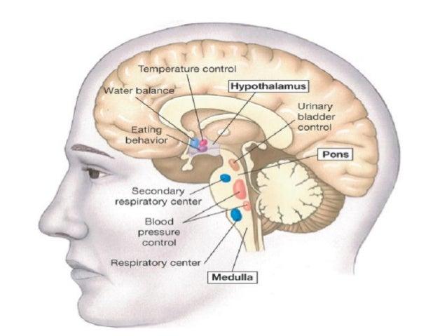 Hypothalamus 15 Apr 2016