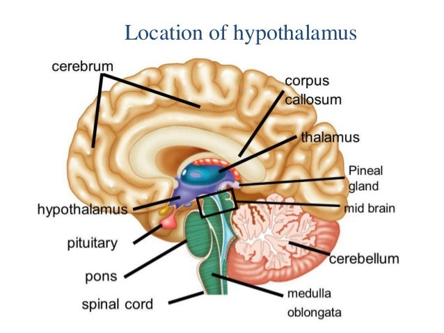 Hypothalamus 15 Apr 2016 in addition Homeostasisinthemuscularsystem weebly also Hypothalamus together with 1164289 as well Thermoregulation 13101660. on homeostasis diagram