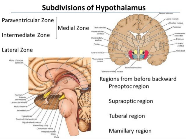 Hypothalamus (2)