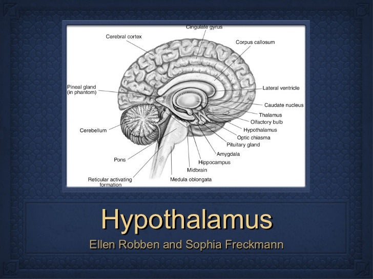 Hypothalamus <ul><li>Ellen Robben and Sophia Freckmann </li></ul>