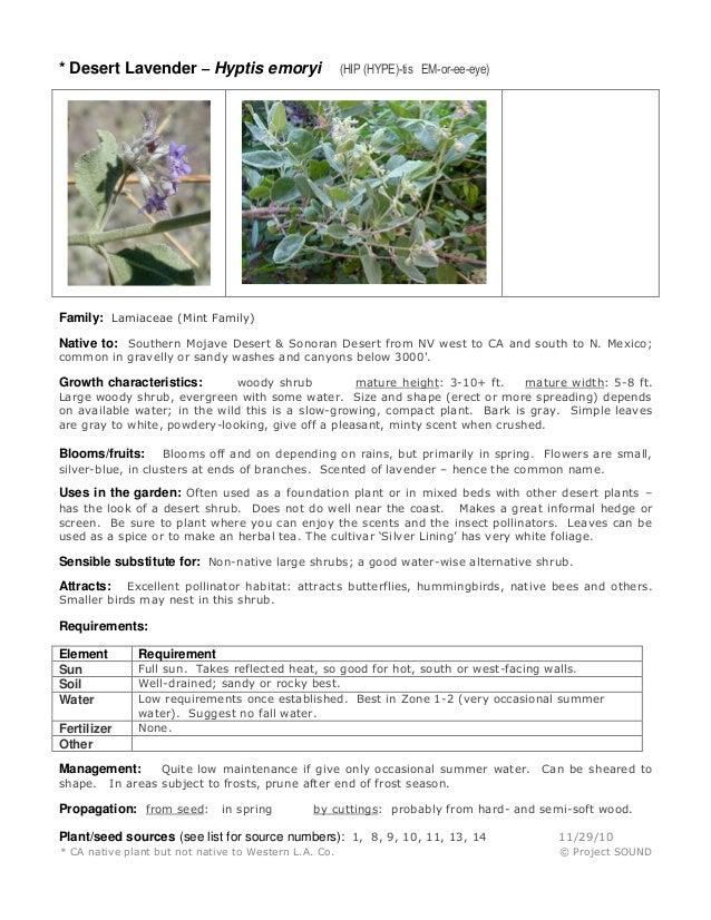 * Desert Lavender – Hyptis emoryi  (HIP (HYPE)-tis EM-or-ee-eye)  Family: Lamiaceae (Mint Family) Native to: Southern Moja...