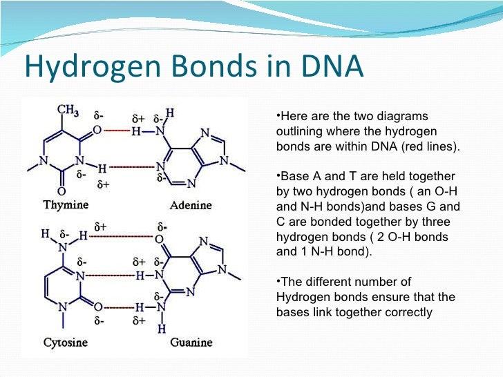 Hyrogen bonding dna 8 hydrogen bonds in dna ccuart Gallery