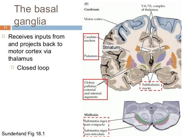 Brain Anatomy Thalamus 3934720 Togelmayafo