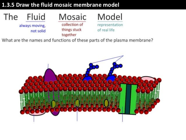 cell membrane model diagram choice image how to guide and refrence. Black Bedroom Furniture Sets. Home Design Ideas