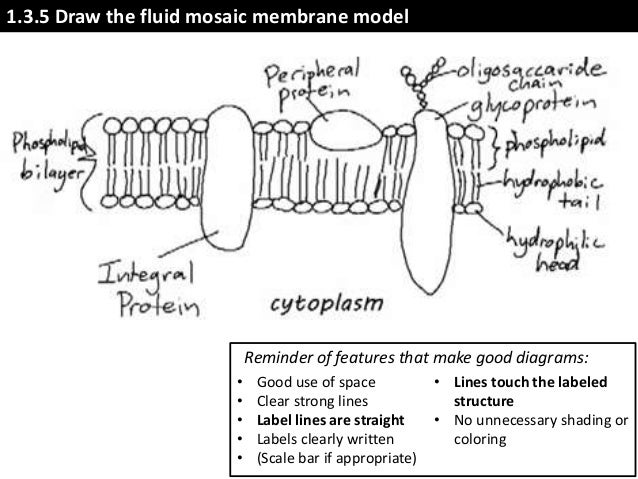 Ib biology 13 slides membrane structure fluid mosaic membrane model 31 bibliography acknowledgments jason de nys chris paine ccuart Image collections