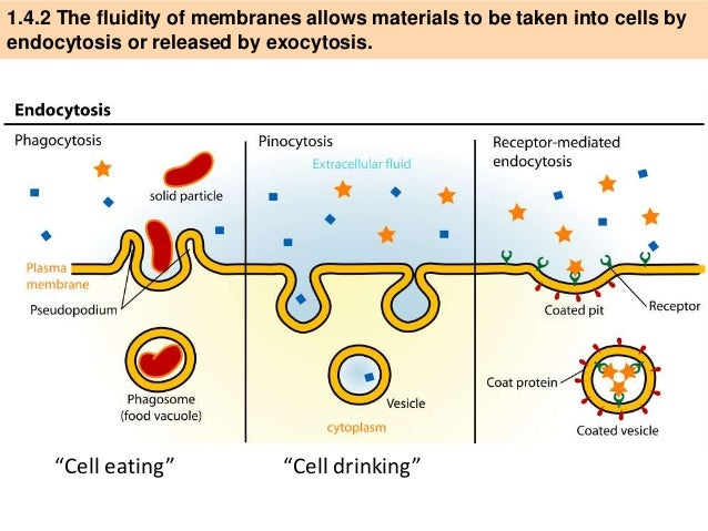 IB Biology 1.4 Slides: Cell Transport