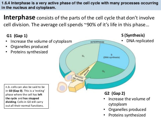 Mitosis Phases Diagram Organelles Wiring Diagram