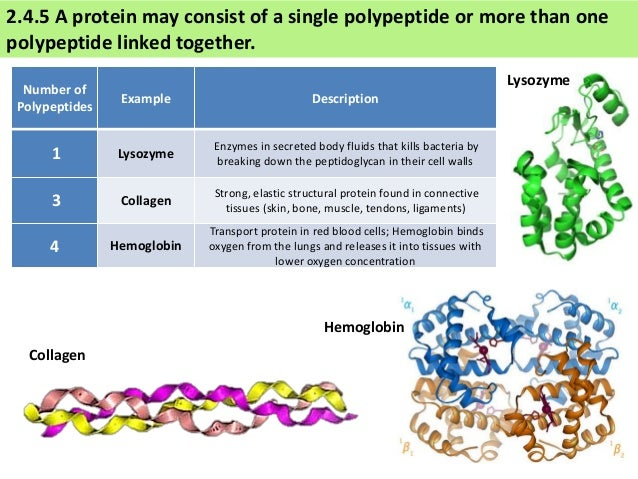 a description of proteins as compounds that consists of one or more polypeptides Protein a molecule contains four polypeptide chains (a tetramer), each chain consisting of more than 140 amino acids to each chain is attached a chemical structure known as a heme group heme is composed of a ringlike organic compound known as a porphyrin, to which an iron atom is attached.