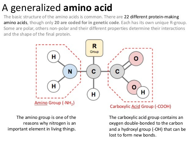 Ib biology 24 73 slides proteins amino altavistaventures Image collections