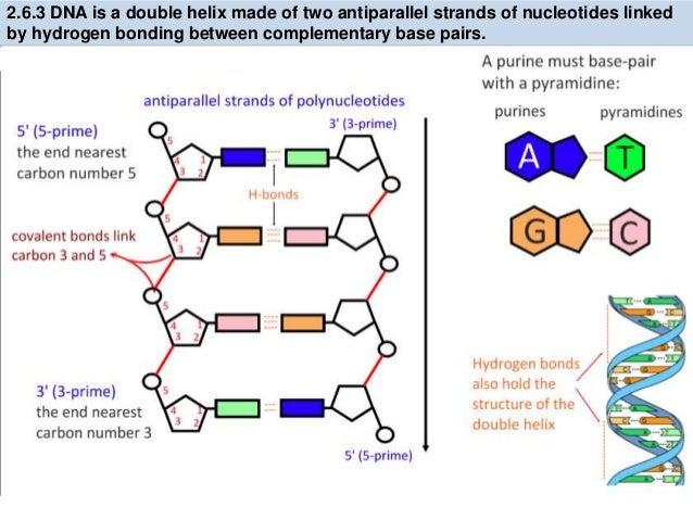 Nucleotide Diagram Ib House Wiring Diagram Symbols