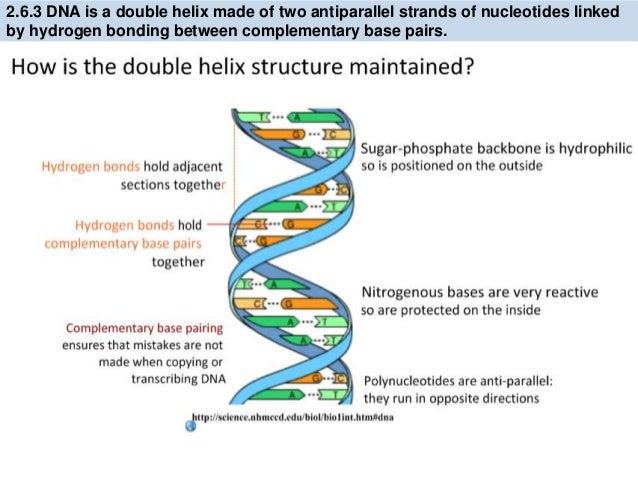 Ib Biology 26 71 Slides Dna Structure