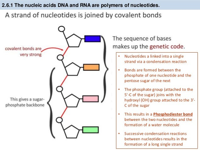 Nucleotides dna diagram labeled simple online schematic diagram ib biology 2 6 7 1 slides dna structure rh slideshare net dna structure labeled dna atomic structure diagram labeled simple ccuart Image collections