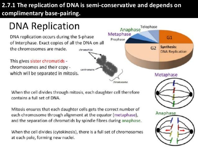 Ib Biology 27 71 Slides Dna Replication